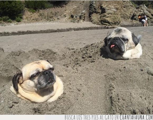 arena,cabeza,cosecha,crecer,enterrado,perro,plantación,plantar,pug,salir,tierra