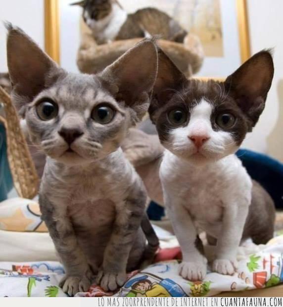 amamantar,gatos,juntos,mirada,pequeños