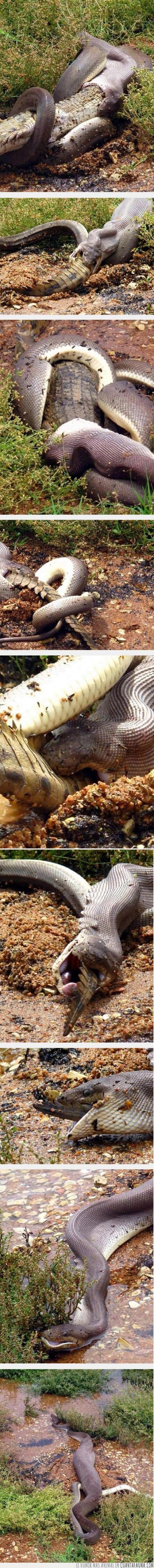aterrador,Australia,cocodrilo,miedo,raro,serpiente,tragar,wtf