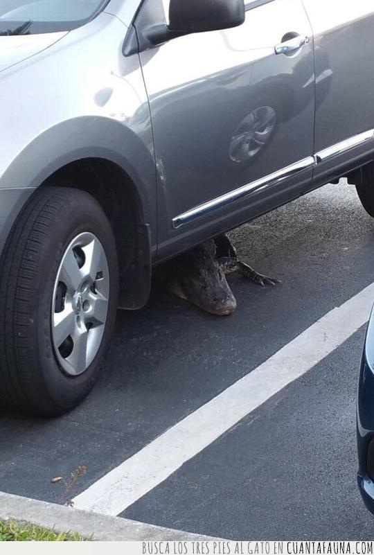 caimán,coche,emboscada,estacionamiento,Estados Unidos,Florida,peligro,reptil