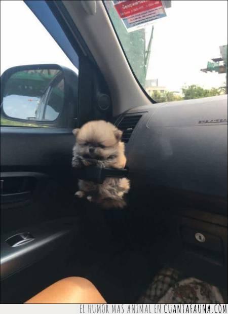coche,pequeño,porta vasos,talla,tamaño,veterinario
