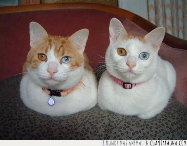 azul,color,doble,gatos,hermosos,heterocromía,marrón,ojos