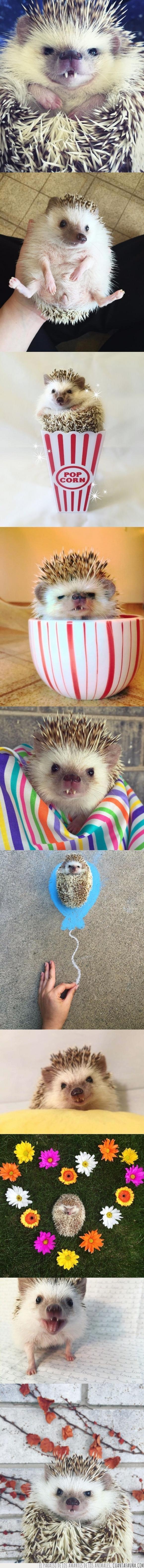 colmillo,dientes,erizo,huff,mascota