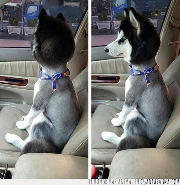 bobblehead,husky,peinado,perro