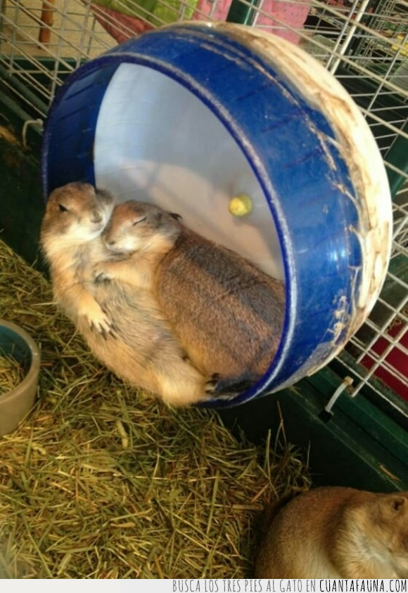 acostarse,dormir,hámster,noche,rueda