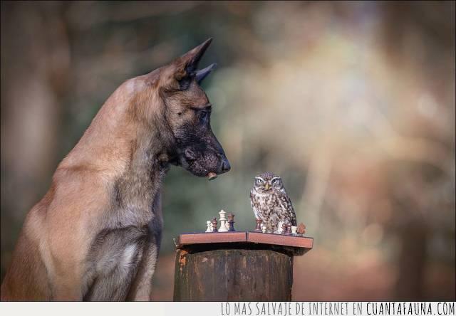 ajedrez,búho,cara,enfurruñado,ganar,mal humor,perder,perro