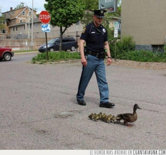 civilizado,coches,crías,escolta,madre,patos,policía,protección