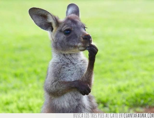australia,canguro,marsupial,meditación,pensamiento,pensar,tamaño