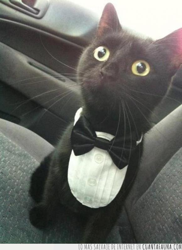 elegante,gato,médico,opera,pajarita,traje,veterinario
