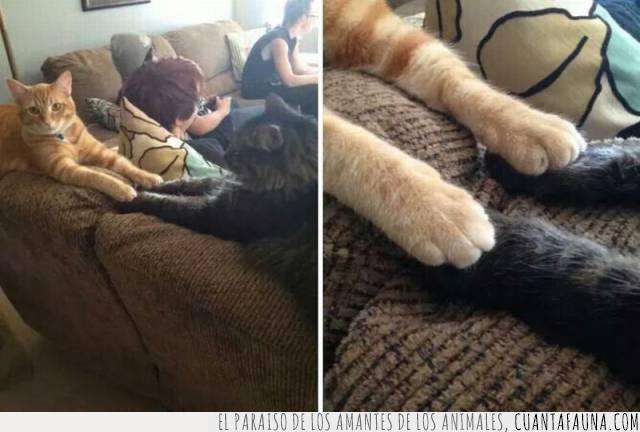 amor,cogidos,gatos,idilio,Julieta,patas,Romeo