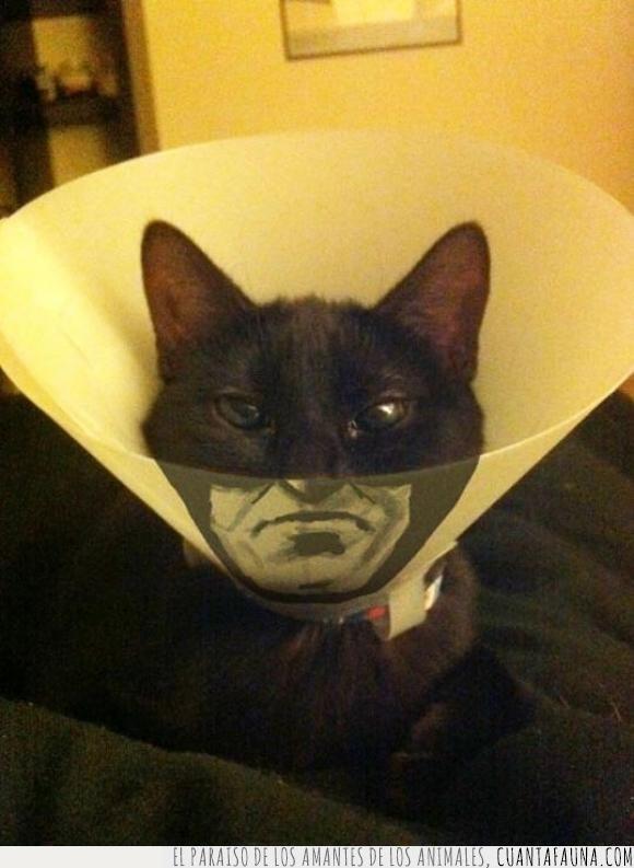 batman,cat-señal,catman,collarín,dibujo,gato,negro,pintura,protección,señal