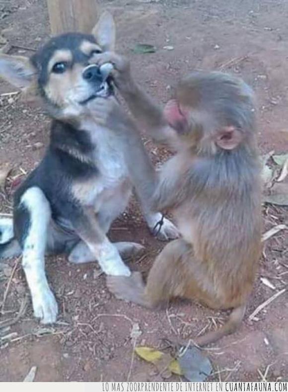 antonio,caries,dentista,dientes,empastar,mirar,mono,perro