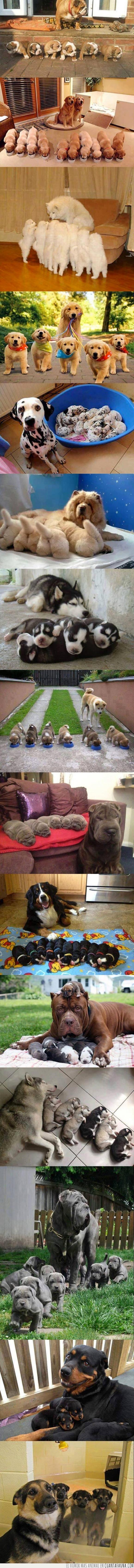cachorro,camada,madre,orgullosa,perro