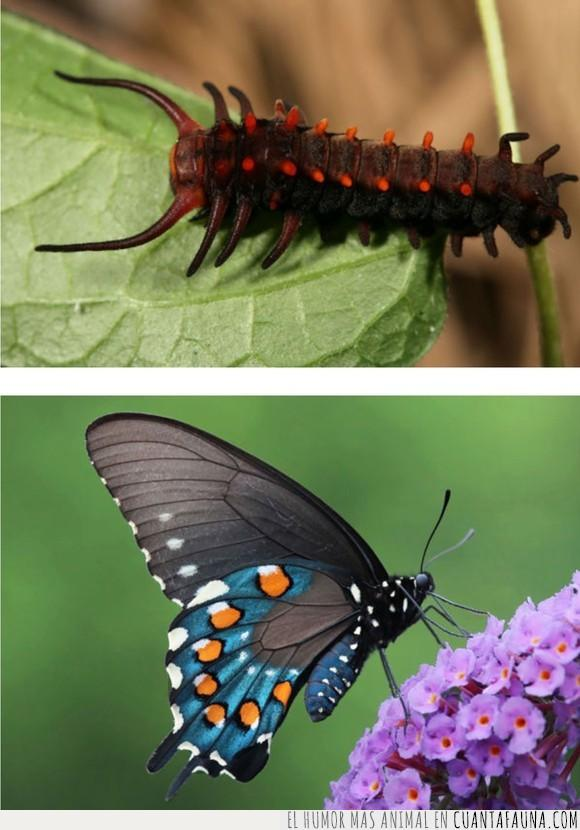 BATTUS PHILENOR,cristianismo,mariposa,Metamorfosis,naturaleza,oruga,solo es humor