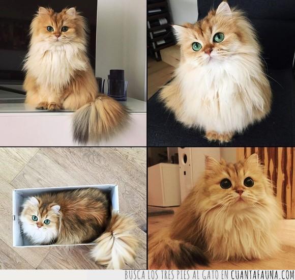 fotogénico,gato,perfecto,persa