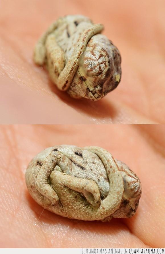 animal,bebé,camaleón,contorsionista,curioso,huevo,pequeño,postura,recién nacido,reptil,tierno