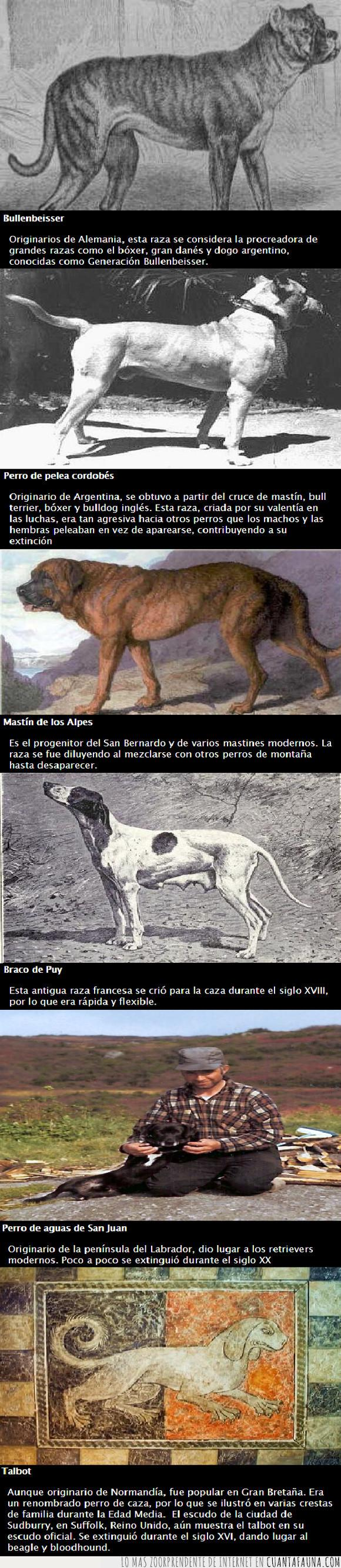 braco de puy,bullenbeisser,extintos,perro de aguas de San Juan,perro de pelea cordobés,perros,talbot