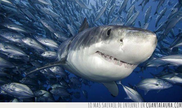 alimento,comida,mar,peces,peligro,tiburón