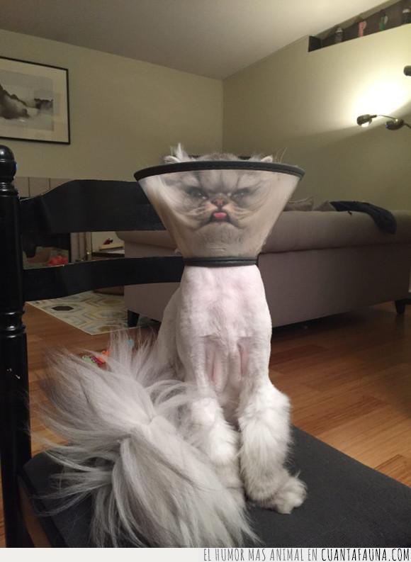 collar,gato