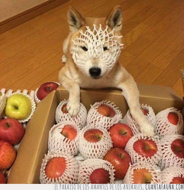 bozal,cajas,comer,manzanas,red