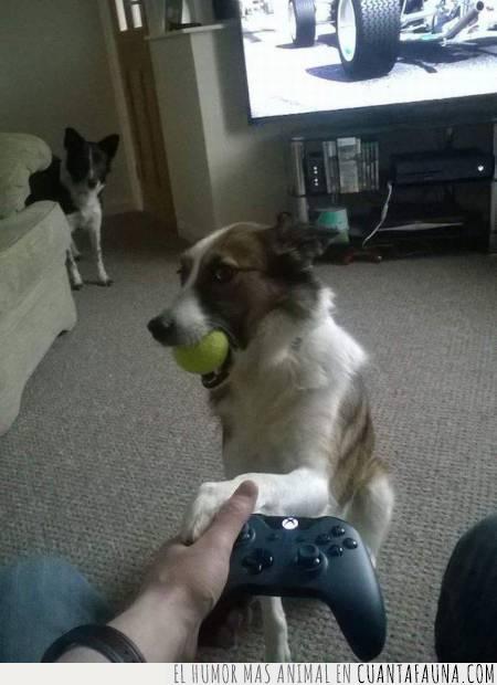consola,juego,jugar,mirada,pedir,pelota,perro