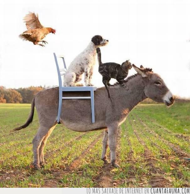 asno,burro,comparsa,decididos,gallina,gato,montar,perro,silla