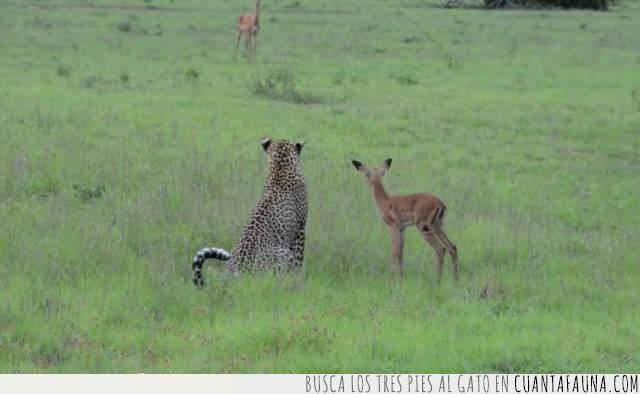 carrera,cazar,competir,correr,echar,leopardo,presa