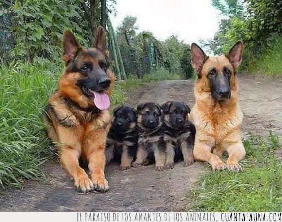 familia,pastor alemán,perra,perros