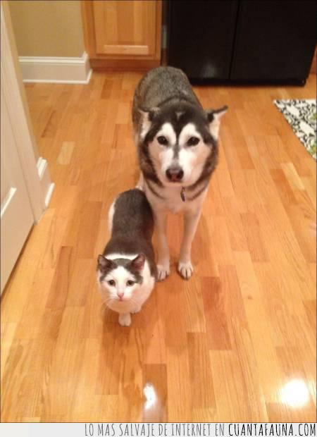 blanco,gato,gris,manchas,negro,parecido,pelaje,perro
