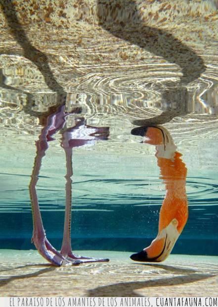 agua,cabeza,comer,flamenco,foto,patas,pico,reflejo,simetría