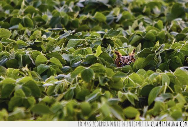 búho,escondido,hojas,lechuga,lechuza,mirada,ojos,plantas,verde