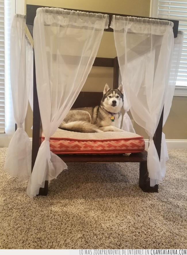 cama,comodidad,cortinas,dosel,elegante,husky,perro,suficiente