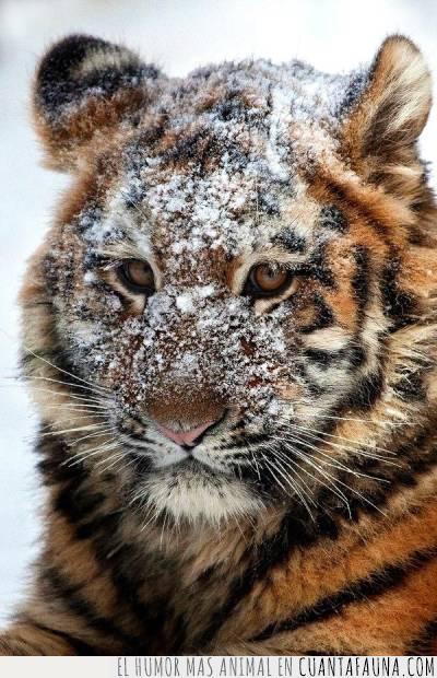 buscar,cara,escarcha,helado,nevera,nieve,tigre