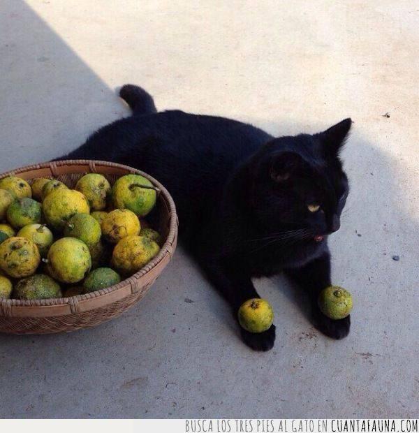 cítricos,desagrado,frutas,gato