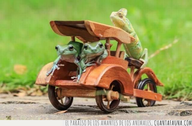 camaleón,coche,especie,madera,ranas,sapos,servicio,tamaño,taxi