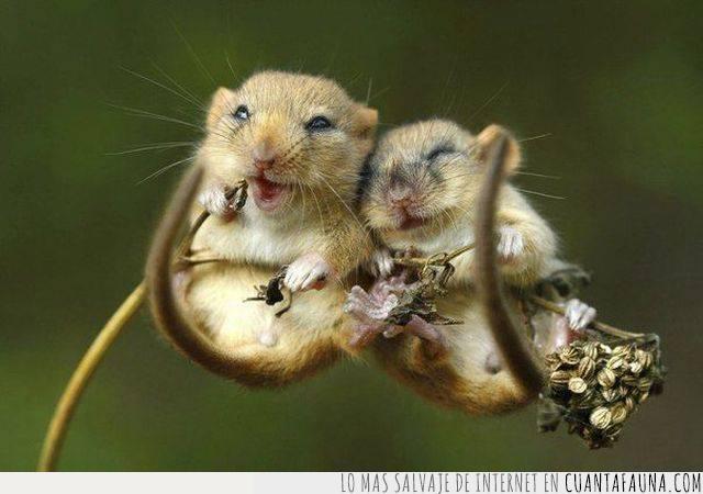 cara,felicidad,ratones,reír,roedores,sonreír