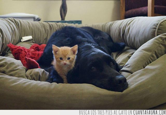 amigos,cama,compañeros,compartir,gato,perro,tranquilos