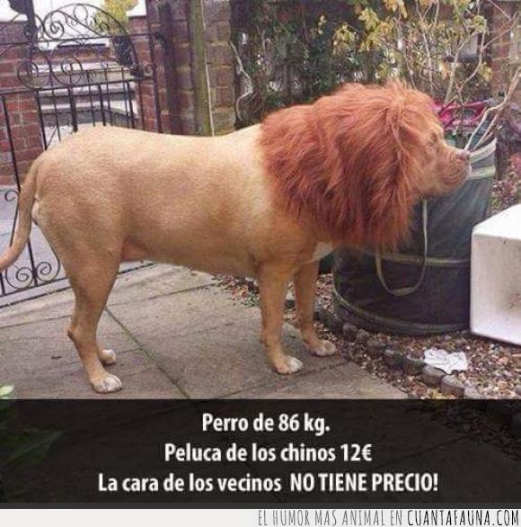 broma,león,peluca,Perro,trolleo,vecinos