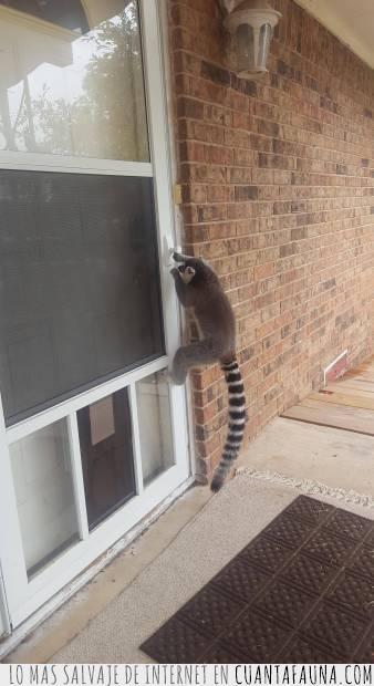 abrir,cocina,comida,lemur,puerta,saber,truco