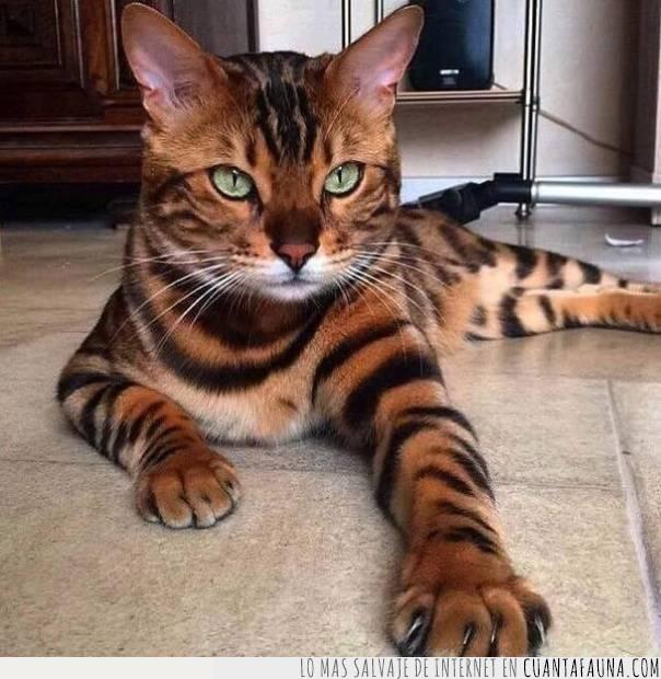 belleza,color,gato,majestuoso,mezcla,rayas,soberbio,tono