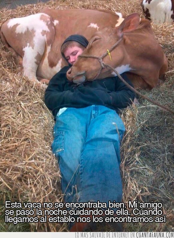 abrazar,afecto,amigo,amor,chico,cuidar,dormir,establo,vaca