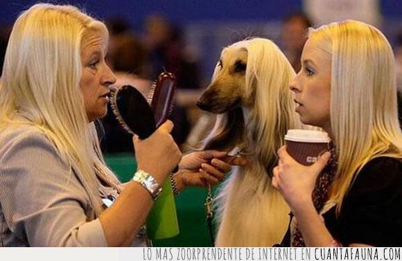 cafe,lebrel afgano,mismo pelo,mujeres,pelo,perro,rubias