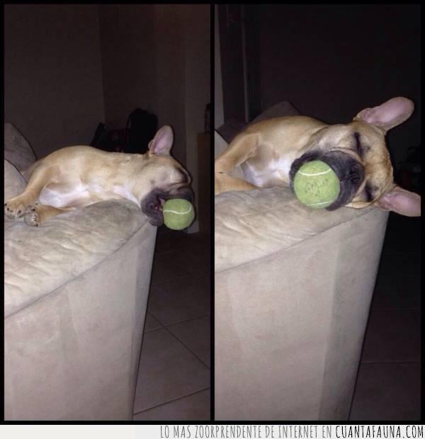 boca,cansado,dormido,juego,jugar,morder,pelota,perro,quitar