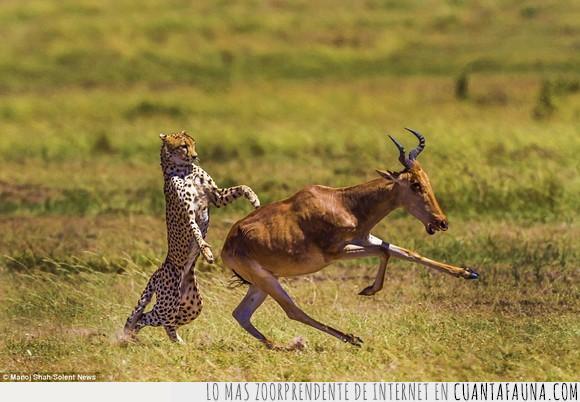animales,chorrada,conga,guepardo