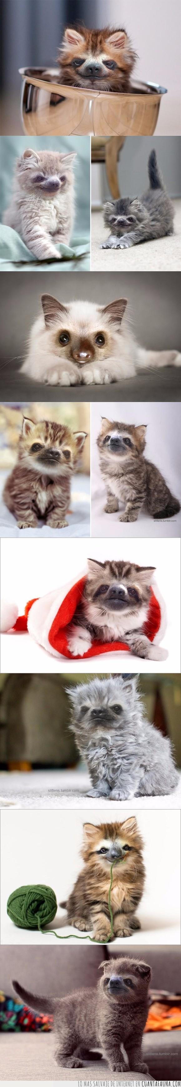 fake obvio,fusión,gatos,mix,perezosos