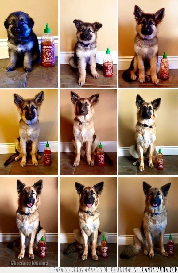 cachorro,crecer,perro,sriracha