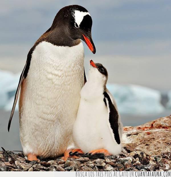 a gusto,hijo,juntos,padre,pingüinos