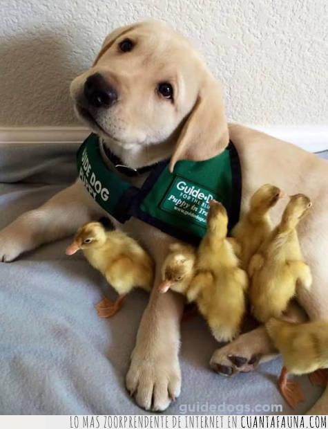 adopción,cuidar,guía,patos,perro