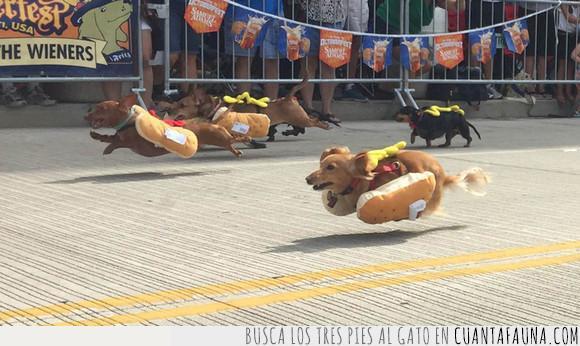 carrera,cincinnati,hotdog,perrito caliente,perro