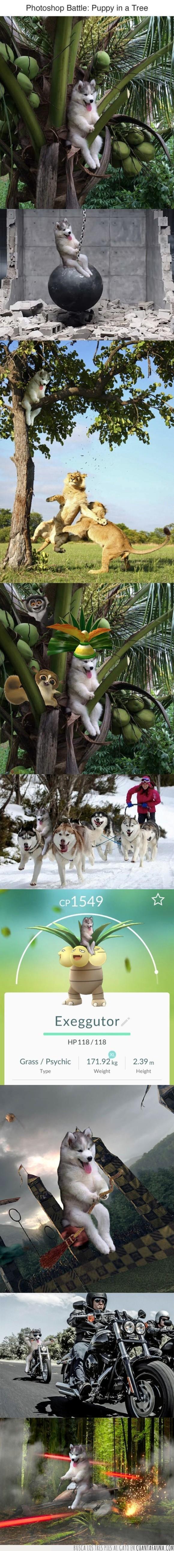 cachorro,chops,husky,perro